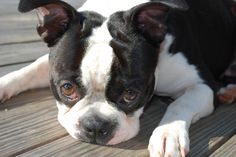 My Boston Terrier ~ Cowboy!!