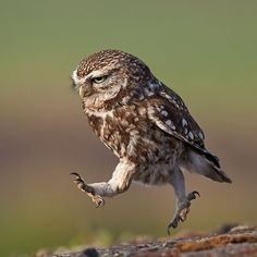 A #wild little Owl in a hurry—Totally run off my feet | Photography by ©Austin Thomas via austin-thomas.co.uk #Padgram