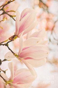 Magnolias I Print By Iris Lehnhardt