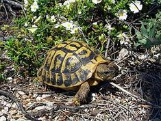 Tortuga mediterránea o de tierra: Testudo hermanni. Está en peligro de extinción, alguna se escapó por la zona del Delta.