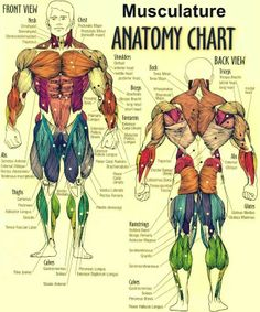 1000+ images about fitness on pinterest | muscle anatomy, squat, Muscles