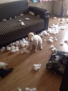 Bull Terriers Mom the cushion attacked me firstsorry I got kinda carried away. Perros Bull Terrier, English Bull Terrier Puppy, Chien Bull Terrier, Bull Terrier Funny, British Bull Terrier, Mini Bull Terriers, Miniature Bull Terrier, Pitbull Terrier, Vw R32 Mk4