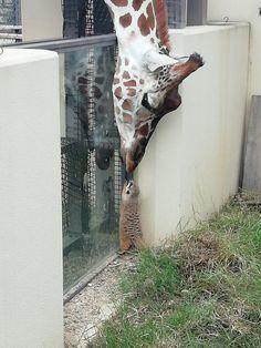 A Giraffe Reaching Over To Meet A Friend