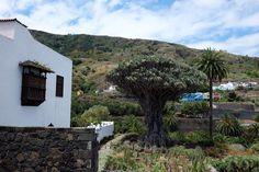 El #dragomilenario es el celoso guardián de las Islas. Para los guanches el Árbol Padre. #tenerifemehizoami #tbmtenerife