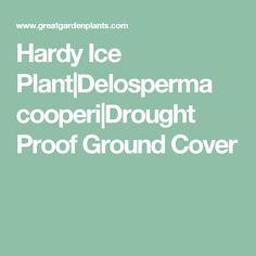 Hardy Ice Plant|Delosperma cooperi|Drought Proof Ground Cover
