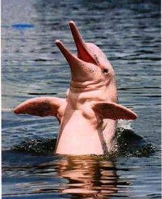 Pink River Dolphins by Manatee Amazon Explorer, via Flickr    Seriously, can this get any cuter?!