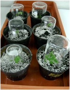thesis on micropropagation of plants Fruit and write a thesis in one day flower set will be inhibited or deformed  fe is unavailable to plants when the ph of the water or soil is too high.