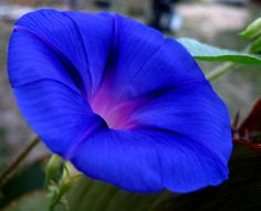 Blue Morning Glory from your Nana in heaven who is with you always... XOXOX