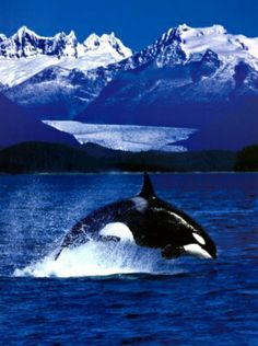 Breathtakingly beautiful orca and scenery!