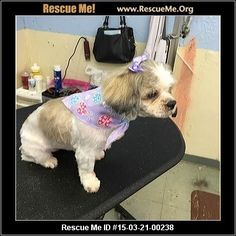 ue Me ID: 15-03-21-00238Baby Girl (female)  Maltese Mix    Age: Senior  Compatibility:	 Good w/ Most Dogs, Good w/ Most Cats, Good w/ Kids and Adults  Personality:	 Average Energy, Average Temperament  Health:	 Vaccinations Current, Blind       Baby Girl came into our rescue several weeks ago along with Chewy (Coco). She'd been living in an empty apartment in Waterbury that had no heat, electricity, or water - and shaggy doesn't even begin to describe her! She's now cleaned up, clipped, and…