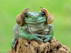 Captured by Indonesian photographer Tanto Yensen, 36, this remarkably laid-back amphibian found itself having a Princess Leia moment when two snails slithered up opposite sides of its head