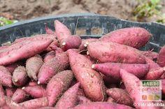 La patate douce est un Ipomée, pas une pomme de terre ! On peut la cultiver dans nos potagers. Où trouver des semences, comment la planter et l'entretenir ? Quand récolter les délicieux tubercules sucrés ? http://www.jardipartage.fr/culture-patate-douce/