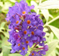 Buy Buddleja davidii 'Black Knight' (Butterfly Bush (Buddleja)) online from Jacksons Nurseries