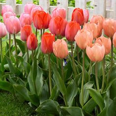 Tulip Van Eijk Mixed - Parkers Wholesale