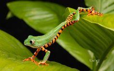 Bing Frog Wallpaper   Você quer utilizar a imagem acima como Papel de Parede ou Wallpaper?