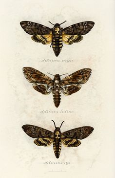 sarah-oconnell: Spent some time today revisiting this series of moths from All three of them are in one happy print now. Tattoo Papillon, Art Papillon, Perro Papillon, Death Head Moth Tattoo, Skull Moth, Deaths Head Moth, Beautiful Bugs, Beautiful Pictures, Hawk Moth