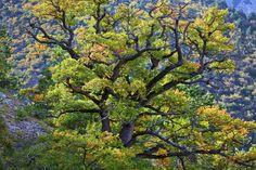oak trees on Mont Ventoux, Provence, France