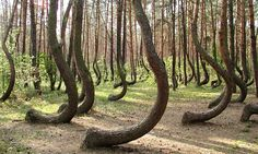 The Crooked Forest (Krzywy Las) is a grove of oddly-shaped pine trees located outside of Nowe Czarnowo, West Pomerania, Poland. No one is sure why the trees grow that way.