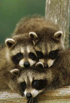 Aaw!! Baby raccoons