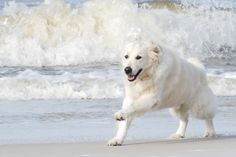 The Cape San Blas beaches, in the Florida Panhandle, are pet friendly! So are all the Cape Escape Vacation Rentals! Come on down and bring your dog! Cape San Blas Florida, Dog Beach, Panama City Panama, Florida Beaches, Beautiful Dogs, Dog Friends, Polar Bear, Seaside, Your Dog
