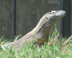 * Dragão-de-Komodo *