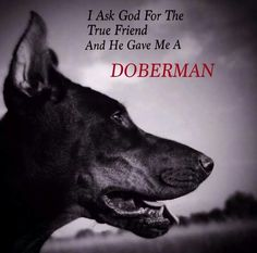 The Doberman Pinscher is among the most popular breed of dogs in the world. Known for its intelligence and loyalty, the Pinscher is both a police- favorite Training Your Dog, Training Tips, Doberman Training, I Love Dogs, Puppy Love, Black And Tan Terrier, Doberman Love, Doberman Rescue, Doberman Pinscher Dog
