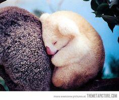 Baby Albino Koala snoozin'