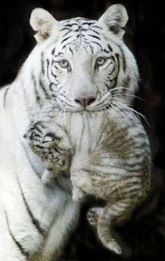 tiger mother white royal picture and wallpaper