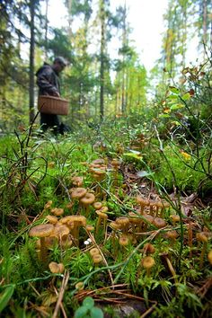 Forest mushroom | mushrooms in forest - yellow foot mushrooms (84620). autumn : Photo ...