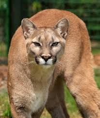 Cougar, mountain lion, puma or panther, all the same kitty with the ability to adapt in different circumstances. Pretty Cats, Beautiful Cats, Animals Beautiful, Pumas Animal, Big Cats, Cats And Kittens, Animals And Pets, Cute Animals, Animals Images