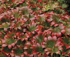 "Mukdenia rossii 'Crimson Fans' is a beautiful perennial for part shade. Grows 12"" H x 24"" W. Astilbe-like flowers emerge in spring before the foliage. Maple-like leaves turn bright red in summer. Wow!"