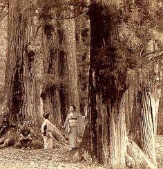 GEISHA AMONG THE BIG TREES -