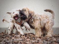 Anett Seidensticker - Photographie - Podgi & Beppa Italian Water, Lagotto Romagnolo, Wheaten Terrier, Pup, Dogs, Animals, Photography, Photo Shoot, Animales