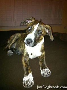 ~~Plott Hound puppy! I'm dying from overexposure to cute! We adopted our Plott when he was 1 1/2 so never got the puppy expedience w him but we still love him dearly :)