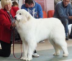Great Pyrenean Mountain Dog