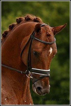 Dutch Warmblood Stallion - Tolando