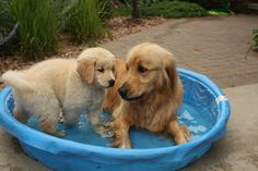 .My 2 goldens refuse to use their kiddie pool this year...sigh!...a true sign o their old age....:(
