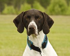 #animals #bird dogs #dog #hunting dog #pointing dogs #short haired german shorthaired pointer