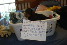 """Penny in the laundry """"One of my wire hair dachshunds got in to laundry basket and ate our underwear, she was caught sitting basket. Cute Funny Dogs, Cute Funny Animals, Weenie Dogs, Doggies, Dachshunds, Cat Shaming, Cute Animal Memes, Dog Rules, Funny Outfits"""