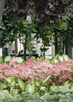 Overview of our Caladium crop