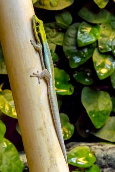 Phelsuma klemmeri by Bent Tranberg on Flickr.