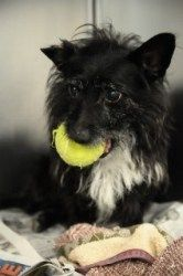 Scrappy 75718 is an adoptable Terrier Dog in Joplin, MO. My adoption has been sponsored!...