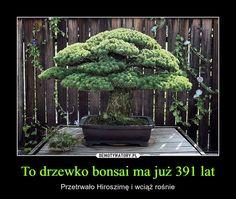 To drzewko bonsai ma już 391 lat Big Plants, Colorful Plants, Hiroshima Bombing, Pine Bonsai, Big Backyard, Greenhouse Gardening, Flower Gardening, Big Garden, Bonsai Garden