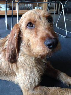 Bassett Fauve de Bretagne Puppy dog