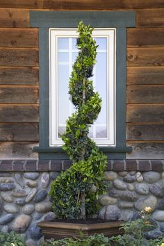 Waxleaf Privet performs well in containers and as a topiary. Its compact habit with glossy foliage displays a profusion of white blooms in spring. (zones 7-11)