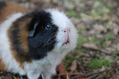Awesome 120+ Funny Guinea Pig Pictures https://meowlogy.com/2017/03/30/120-funny-guinea-pig-pictures/ Guinea pigs rarely require bathing. Should you be interested in having a guinea pig, the ideal thing to do is to adopt. In case you are looking at a guin