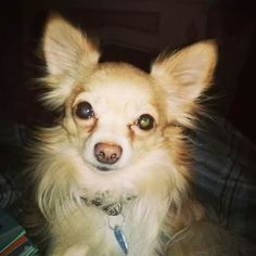 Lost Dog - Chihuahua Long Haired - Hamilton, ON, Canada L8K 2J8