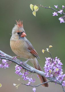 Female Cardinal (looks like she's wearing a tiny pink crown/ tiara)