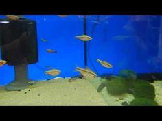 freshwater fish aquarium fish, Barbus titteya