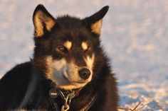 Dog on sledding Team in Nikolai Alaska